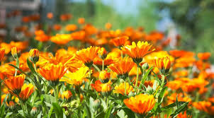 You are currently viewing Calendula the Magical Plant